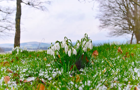 On Castle HIll - Shaftesbury Snowdrops