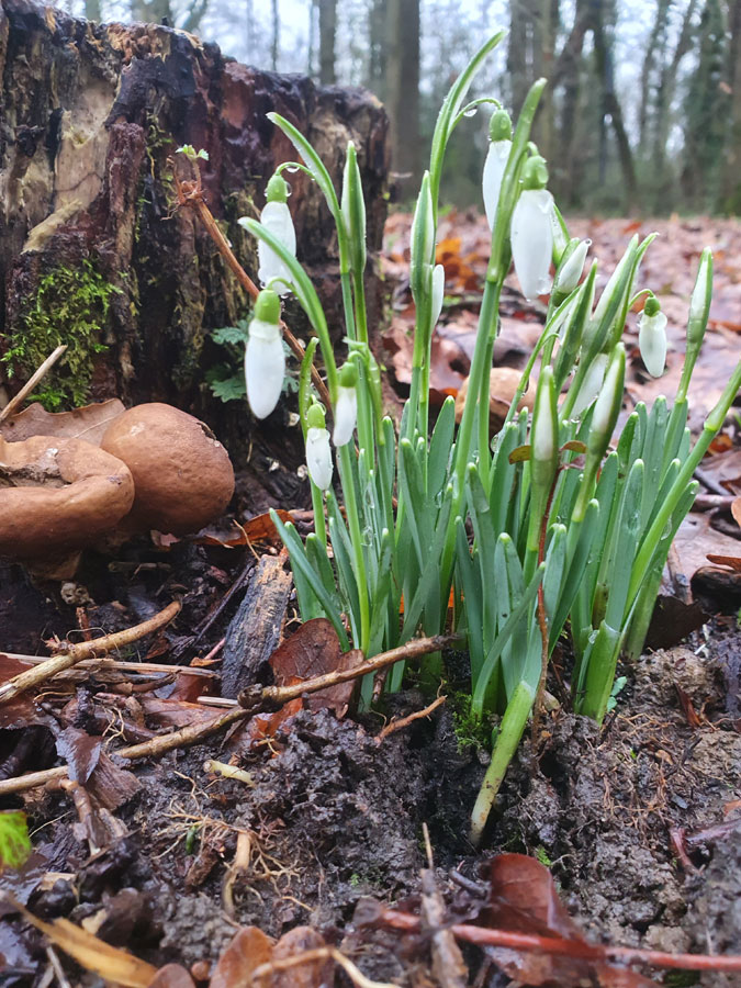 Local Snowdrops by Lisa Lucas